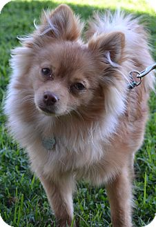 Pomeranian Mix Puppy for adoption in Simi Valley, California - Beemer