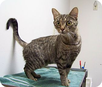 Domestic Shorthair Cat for adoption in Dover, Ohio - Mya