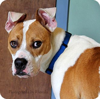 American Pit Bull Terrier Mix Dog for adoption in Dallas, Georgia - Sheriff