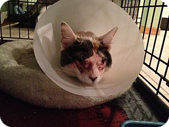 Calico Kitten for adoption in East Hanover, New Jersey - Help Katie and Scarlett