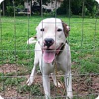 Adopt A Pet :: Cody - Hatifeld, PA
