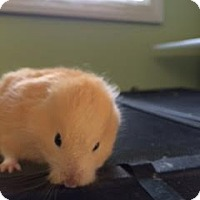 Hamster for adoption in Middle Island, New York - Hamsters