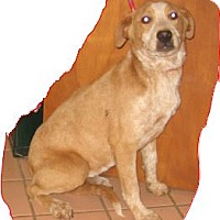 Adopt A Pet :: Hawkeye - Buchanan Dam, TX