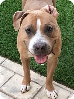 Pit Bull Terrier Mix Dog for adoption in Las Vegas, Nevada - Jonah