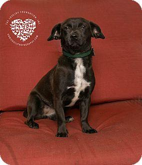 Dachshund/Terrier (Unknown Type, Small) Mix Dog for adoption in Inglewood, California - Dori