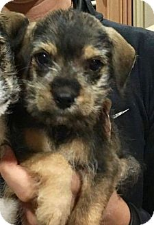 Terrier (Unknown Type, Small) Mix Puppy for adoption in Vancouver, British Columbia - Reese