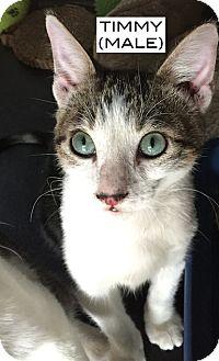 American Shorthair Kitten for adoption in Santa Monica, California - Timmy