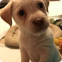 Adopt A Pet :: Cavalli - Las Vegas, NV