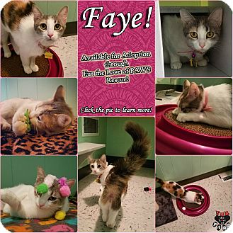 Domestic Shorthair Cat for adoption in North Platte, Nebraska - Faye