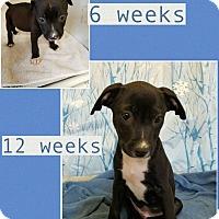 Adopt A Pet :: Gage meet me 3/10 - Manchester, CT