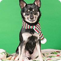 Adopt A Pet :: Dinges - Northbrook, IL