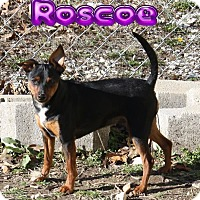 Miniature Pinscher Dog for adoption in Nixa, Missouri - Roscoe # 926
