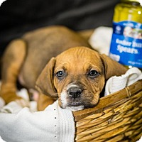 Boxer/Bluetick Coonhound Mix Puppy for adoption in West Orange, New Jersey - Dill