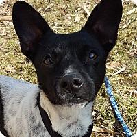 Adopt A Pet :: Pinto - Grayslake, IL