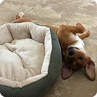 Adopt A Pet :: Kona - Houston, TX
