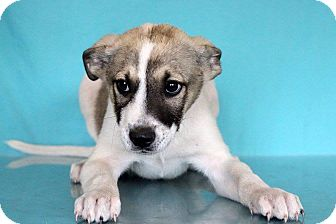 Pointer/Shepherd (Unknown Type) Mix Puppy for adoption in Waldorf, Maryland - Gregory
