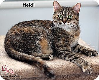 Domestic Shorthair Cat for adoption in St Louis, Missouri - Heidi