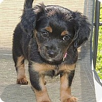 Adopt A Pet :: Cynthia - La Habra Heights, CA