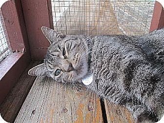 Domestic Shorthair Cat for adoption in Palm City, Florida - Chet