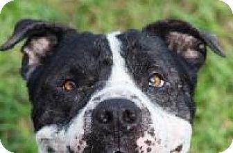 American Bulldog/American Pit Bull Terrier Mix Dog for adoption in New Smyrna Beach, Florida - Kiki