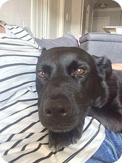 Labrador Retriever Mix Dog for adoption in Alpharetta, Georgia - Anabela