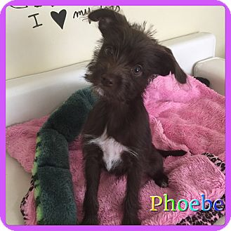 Terrier (Unknown Type, Small) Mix Puppy for adoption in Hollywood, Florida - Pheobe