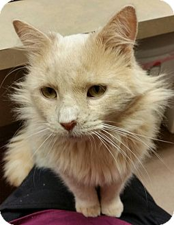 Domestic Longhair Cat for adoption in Mt. Airy, North Carolina - Buff