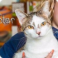 Domestic Shorthair Cat for adoption in Somerset, Pennsylvania - Star