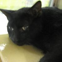 Domestic Shorthair Cat for adoption in Logan, Utah - Blackie