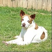 American Staffordshire Terrier Mix Dog for adoption in Shreveport, Louisiana - Pilot