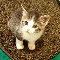 Adopt A Pet :: Coffee - Scottsdale, AZ