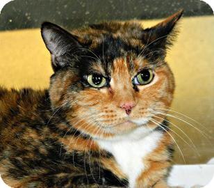 Domestic Shorthair Cat for adoption in Cheyenne, Wyoming - Sheba