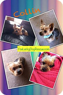Yorkie, Yorkshire Terrier Mix Dog for adoption in Alpharetta, Georgia - Collin