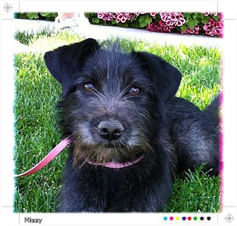 Schnauzer (Miniature)/Terrier (Unknown Type, Small) Mix Dog for adoption in Irvine, California - MISSY