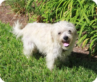Maltese Mix Dog for adoption in Norwalk, Connecticut - Toby