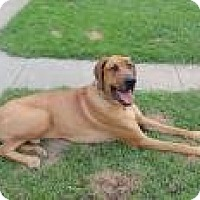 Adopt A Pet :: Harley - Inver Grove Heights, MN