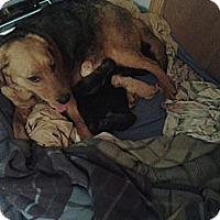 Adopt A Pet :: Lola - Minneapolis, MN