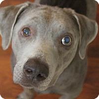 Adopt A Pet :: Buddy - Austin, TX