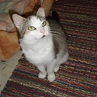 Domestic Shorthair Cat for adoption in Carlisle, Pennsylvania - KitneyCP