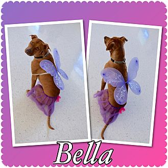 Pit Bull Terrier Mix Dog for adoption in Loxahatchee, Florida - Bella - Pawsitive Direction