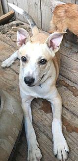Australian Cattle Dog Mix Puppy for adoption in Staunton, Virginia - Jessie