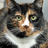 Adopt A Pet :: Venus - Fort Leavenworth, KS