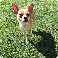 Adopt A Pet :: Poppy - Yuba City, CA