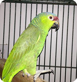Amazon for adoption in Punta Gorda, Florida - Petey