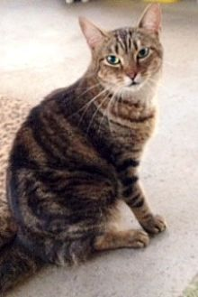 Domestic Shorthair Cat for adoption in Orlando, Florida - Cassie (IL) 8.6.09