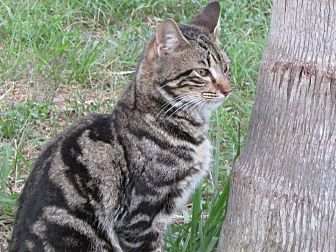 Bengal Cat for adoption in Zolfo Springs, Florida - Bob