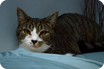 Domestic Mediumhair Cat for adoption in Pittsburgh, Pennsylvania - Peeta