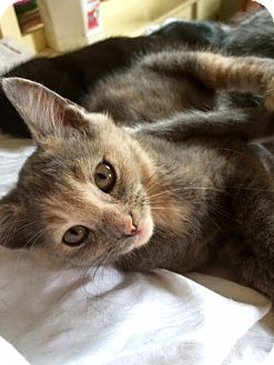 Domestic Shorthair Cat for adoption in Los Angeles, California - Bunny