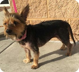 Yorkie, Yorkshire Terrier Mix Dog for adoption in Mount Pleasant, South Carolina - Beauty