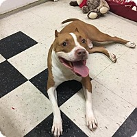 Pit Bull Terrier Mix Dog for adoption in Mission, Kansas - Colossal Boy